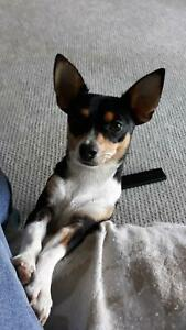 Chihuahua cross Jack Russell