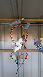 Baby Budgies Bulk Buy 10 for $120 Werribee Wyndham Area Preview