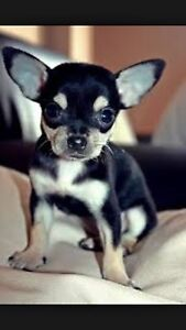 WANTED!! BLACK AND TAN PUREBRED CHIHUAHUA Rockingham Rockingham Area Preview