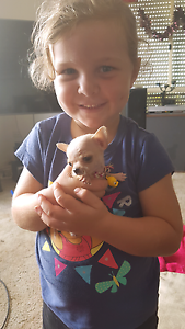 Tiny 10week old Chihuahua Mount Hallen Somerset Area Preview