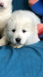 Great Pyrenees Livestock Guardian Dog puppies