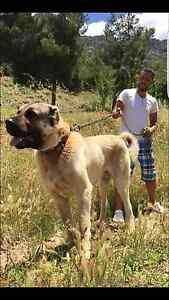 Anatolian boz shepherd Camden Camden Area Preview