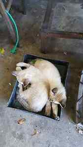cat and kittens Beechboro Swan Area Preview