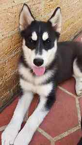 Husky cross malamute puppy Hinchinbrook Liverpool Area Preview