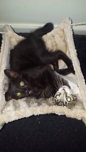 Black kitten in desperate need of forever home Amaroo Gungahlin Area Preview