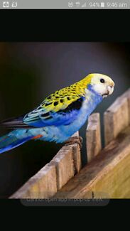 Wanted female Pale Headed Rosella. Armidale 2350 Armidale City Preview