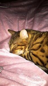 Pure Bred Bangal Cat