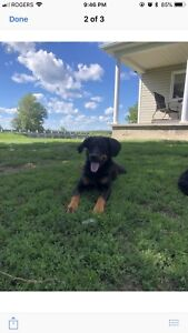 Labernese and Bernese puppies