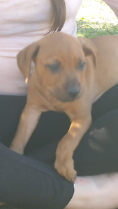 Amstaff x pups Redcliffe Redcliffe Area Preview