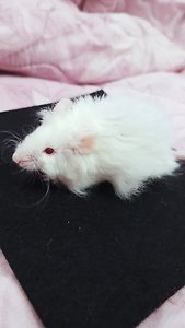 LONG COAT REX MALE MOUSE Cabramatta Fairfield Area Preview