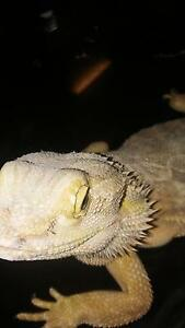 Male leatherback bearded dragon Goldsborough Cairns Surrounds Preview