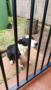 FOUND male puppy Toowoomba Toowoomba City Preview