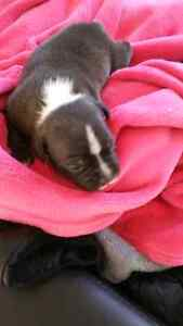 PURE BRED ENGLISH STAFFY PUPS Hillside Melton Area Preview