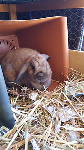 Rabbit sale St Leonards Willoughby Area Preview