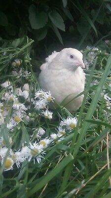 50 English White Coturnix Hatching Eggs By Myshire A Must Have For Breeding