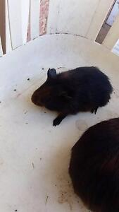 1 male 1 female Guinea pig Woodvale Joondalup Area Preview