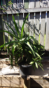 Plant in pot.  Redlynch Cairns City Preview