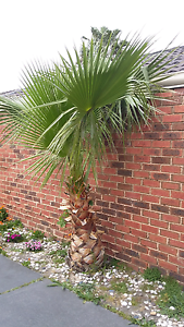Palm tree for sale Hallam Casey Area Preview