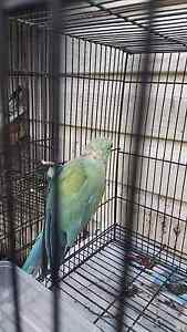 Indian ringneck parrot Fairfield East Fairfield Area Preview