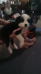 7 purebred long haired border Collie pups $200 Curlewis Gunnedah Area Preview
