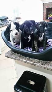 American Bulldog pups - Johnson - BLACK! Amphitheatre Pyrenees Area Preview