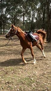 Quarter horse gelding Pitt Town Hawkesbury Area Preview