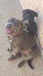 English staffy pups Taranganba Yeppoon Area Preview