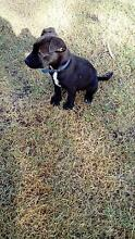Staffy X Border Collie puppies Tenterfield Tenterfield Area Preview
