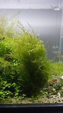 Erect moss Wattle Grove Kalamunda Area Preview