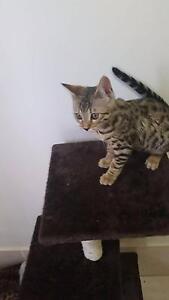 Female Bengal Kitten Mount Annan Camden Area Preview