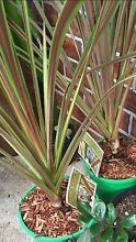 Large Cordylina Electric Star Ingleburn Campbelltown Area Preview