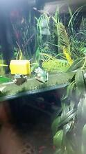 Green Tree Frog FULL SETUP Woodvale Joondalup Area Preview