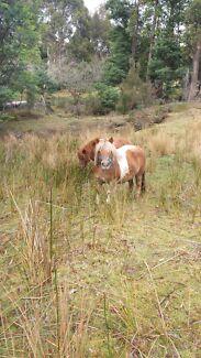 Shetland ponys for sale  Pelverata Huon Valley Preview