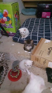 Free Kittens Give Away to Good Family Mawson Lakes Salisbury Area Preview
