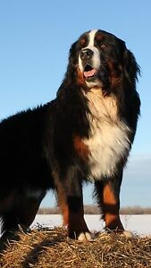 Bernewfie Puppies - Bernese Mountain crossed with Newfoundland