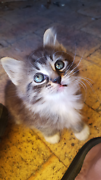 Kittens ( vaccinated / wormed / flea treated come with vet diary  Thornlie Gosnells Area Preview
