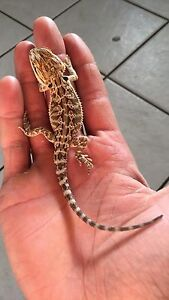 Baby bearded dragons.