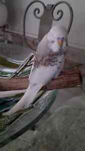 Hand reared english budgies Ipswich Ipswich City Preview