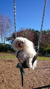 Maltese. cross, 3 years old, loyal, well train Varsity Lakes Gold Coast South Preview