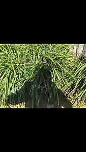 7 beautiful established grass plants, $100 Narraweena Manly Area Preview
