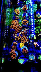 Amazing Superman Zoa Coral Frags