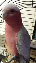 11month old male Galah Shoalhaven Heads Shoalhaven Area Preview