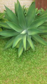 Large Agave Attenuata Plant