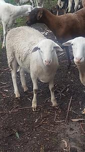Damara rams Mernda Whittlesea Area Preview