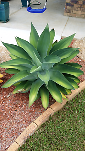 Large Agave Dakabin Pine Rivers Area Preview