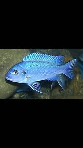 Cobalt blue for sale Liverpool Liverpool Area Preview