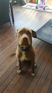 Dog *FREE* :( :( Mango Hill Pine Rivers Area Preview