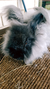 Angora rabbits - Adopt to a new family. St Leonards Willoughby Area Preview