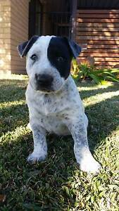 Bull Terrier x Cattle Dog Pups Moree Moree Plains Preview