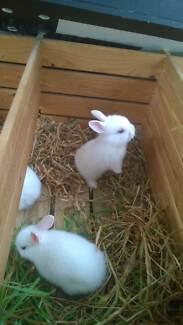 Baby rabbit, white, blue eyes, 12 wks old Goolwa Beach Alexandrina Area Preview